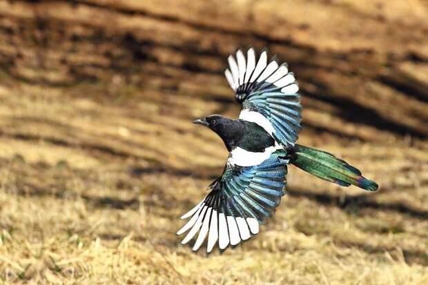 Птица, живущая по понятиям: интересное о сороках