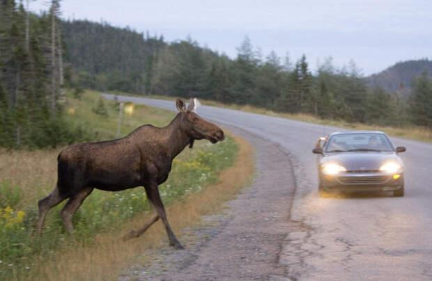 В Калининском районе автомобиль сбил лося