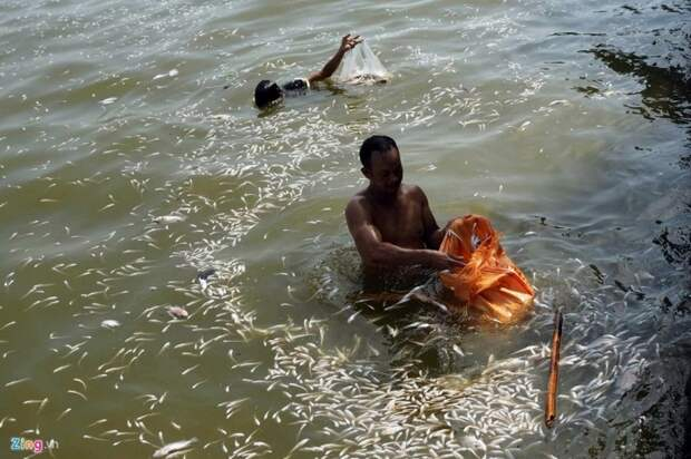 Тонны рыбы задохнулись в Западном озере Ханоя