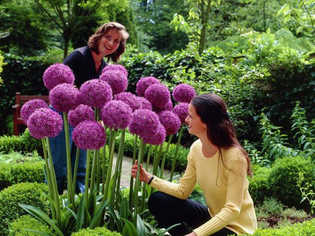 Виды декоративных луков - посадка и выращивание