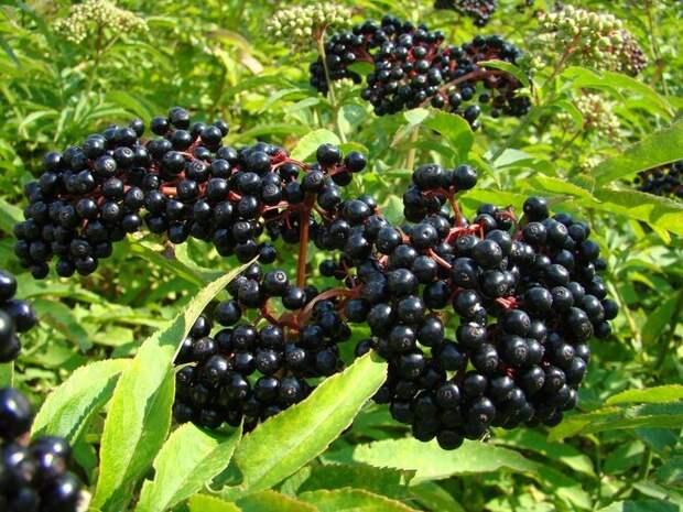 Чёрная бузина используется как в медицинских целях, так и в пищевых – из её ягод варят варенье, кисели и повидло, а также добавляют в различные напитки и выпечку. Но все остальные части растения весьма ядовиты, содержа в себе гликозид самбунигрин. Случайное употребление их в пищу вместе с ягодами вызовет серьёзные проблемы с желудком.