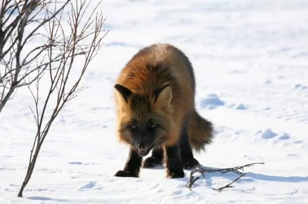 На природной территории в Северном можно встретить лису – специалисты Мосприроды