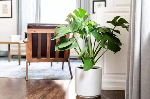 Большой размер и узнаваемые листья: растение, которое идеально подходит Тельцам