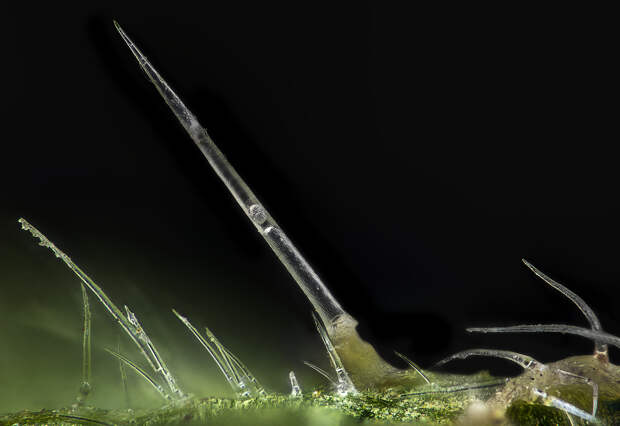 Почему крапива жжётся?