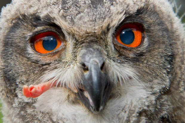 Новосибирские ветеринары вытащили верёвку из желудка болотной совы