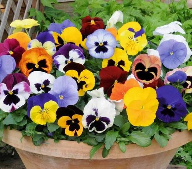 Анютины глазки имеют яркую красочную расцветку