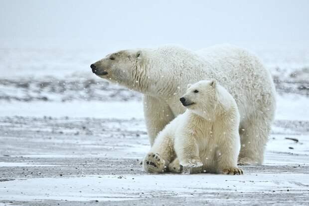 Таяние льдов в Арктике в несколько раз осложнило жизнь белых медведей