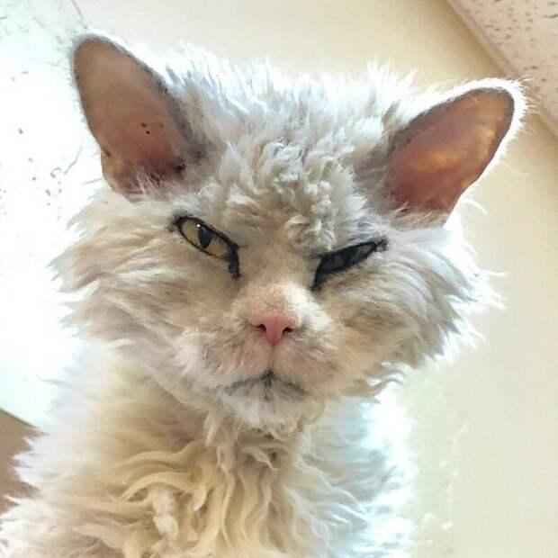 Альберт (Albert) grumpy cat, животные, коты, кошка, кошки, мем, сердитая кошка, фото