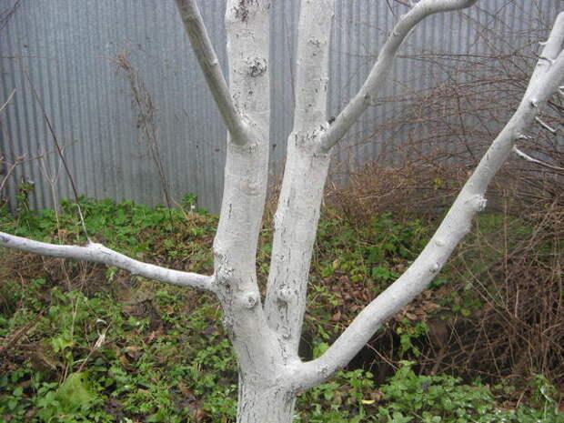 Деревья, побеленные полностью, фото с сайта felicity10.ru