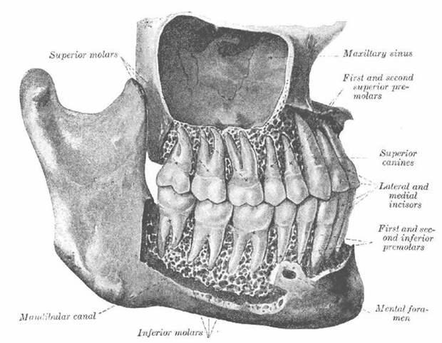 15. Фото, которое доказывает, насколько зубы больше, чем их визуально видимая часть