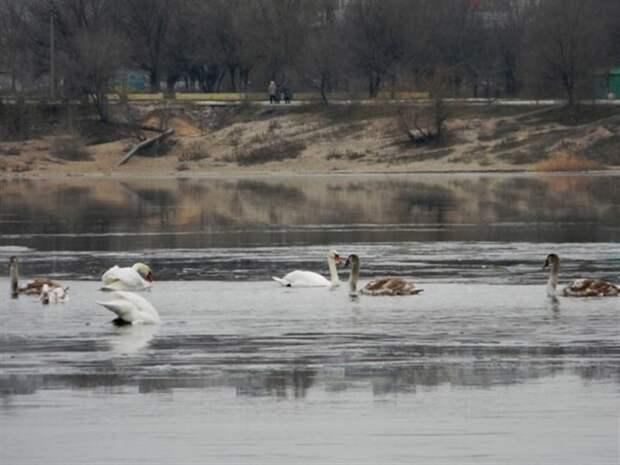 Обычная женщина из города Остров спасла стаю лебедей от мороза