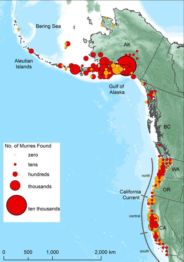Количество мертвых или умирающих кайр, отмеченных на пляжах, которые подвергались ежемесячному обследованию (золотые круги), а также с помощью случайных обследований пляжей и реабилитационных отловов (красные круги). Размер круга пропорционален количеству птиц, сверху вниз: ноль, десятки, сотни, тысячи, десятки тысяч. Белыми кружками отмечены районы, в которых во время исследований не было обнаружено ни одной мертвой кайры. Все остальные береговые линии (без кружков) не обследовались