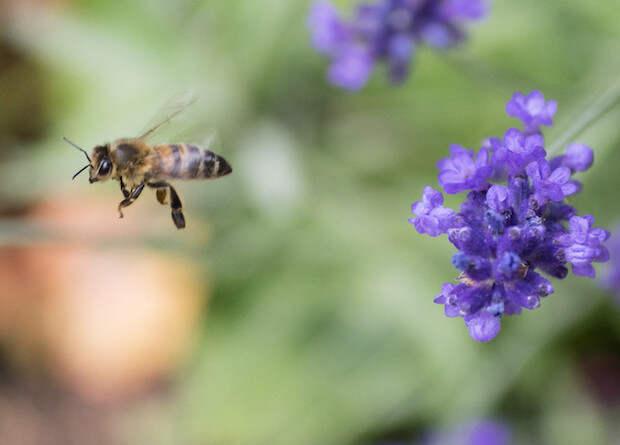 Пчелы из разных регионов и стран общаются на разных диалектах языка танцев