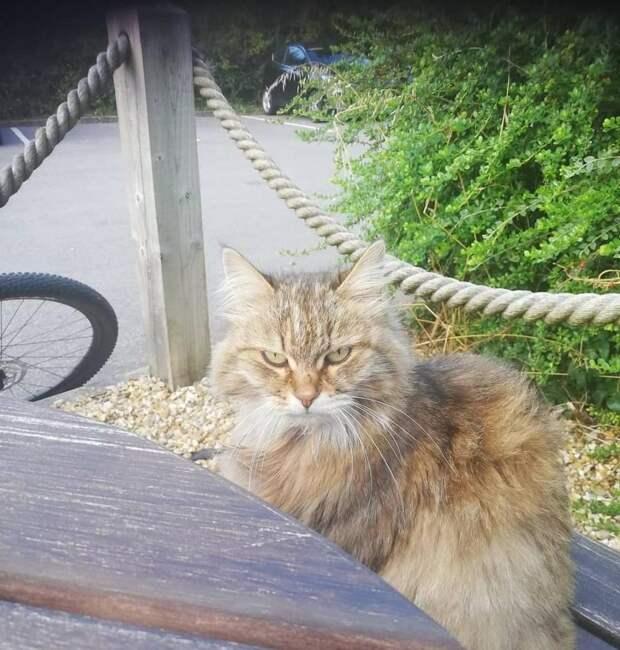 Чтобы подкрепиться, 11-летняя кошка регулярно посещало местный мясной ресторан, пока кто-то не повесил записку на ошейник