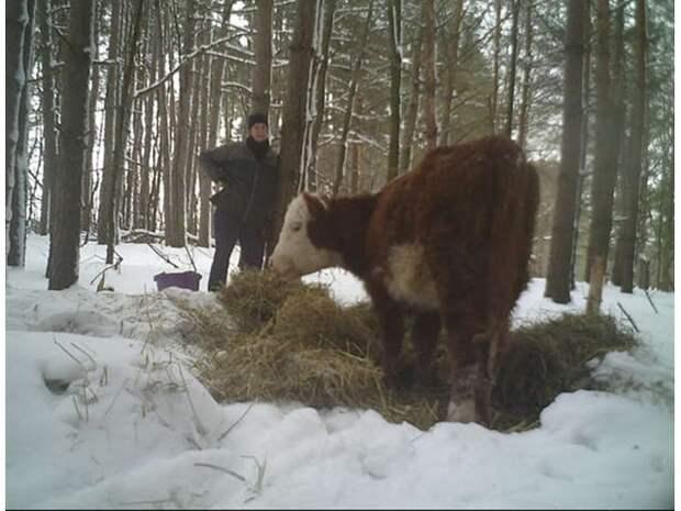 Дерзкие выходки свободолюбивых коров, которые не захотели жить в стойле