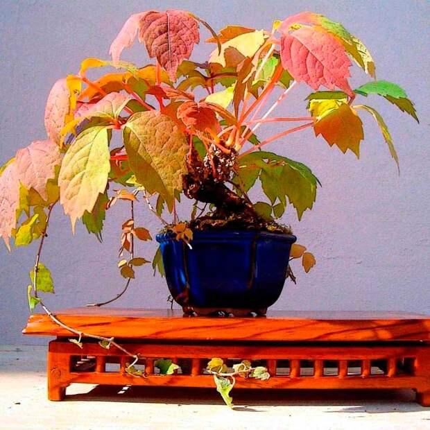 Комнатное растение Ампелопсис (Ampelopsis)