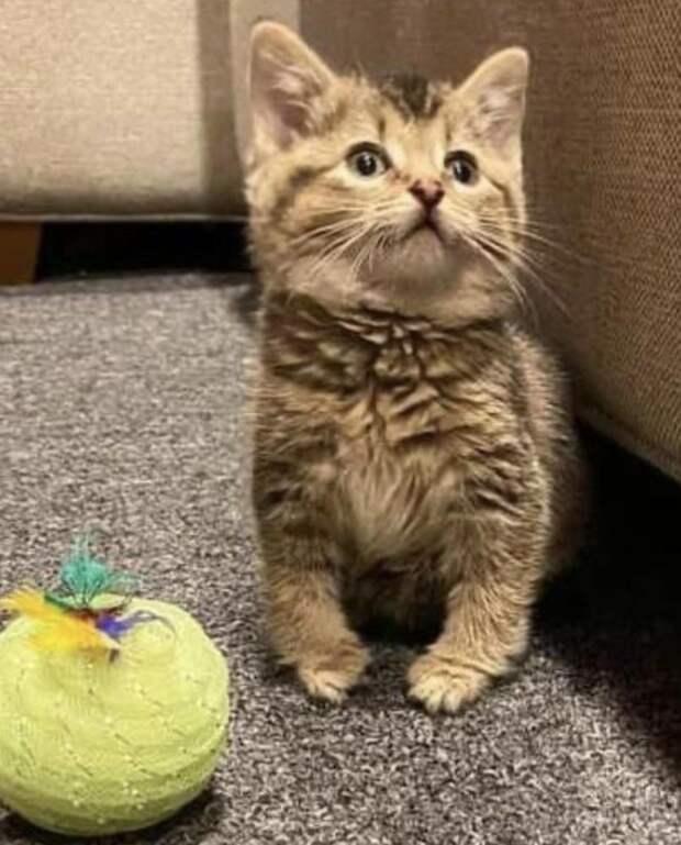 Хозяйка показала свою косолапую кошку, которая умиляет