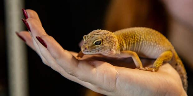 Новый вид гекконов из Индии назвали в честь Джеки Чана