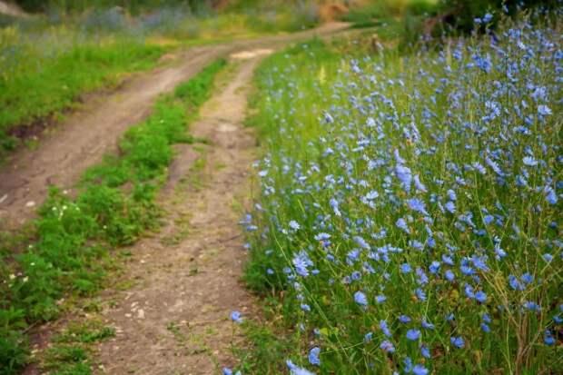 В природе цикорий можно встретить на лугах, полянах, травянистых склонах, на пустырях, полях, вдоль дорог