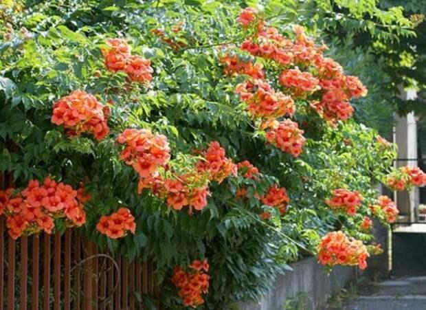 Девять лучших быстрорастущих вьющихся цветов для забора, арок и шпалер