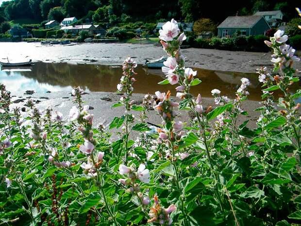 Лекарственное растение Алтей аптечный (Althaea officinalis)