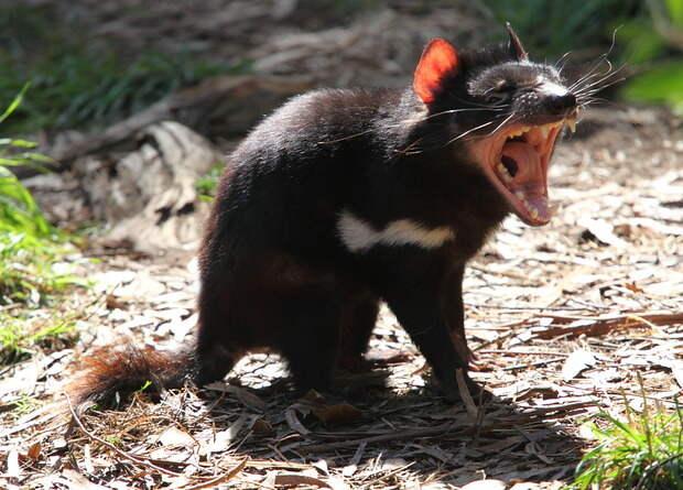 Тасманийские дьяволы вернулись на материковую Австралию три тысячи лет спустя