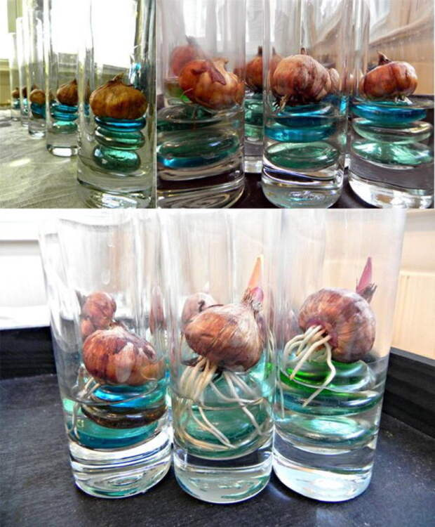 Когда хочется весны: вот как вырастить тюльпаны и нарциссы в вазе