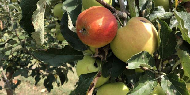 Как омолодить старые яблони весной?