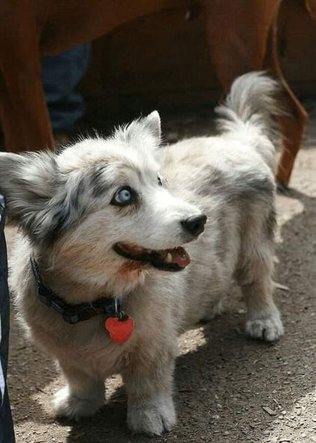 3. Помесь хаски и корги домашние животные, животные, красота, метис, милота, порода собак, собака