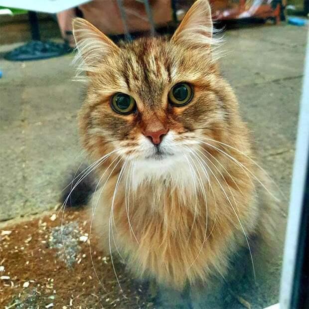У своего сибирского кота девушка увидела записку на шее, в которой говорится, что он часто посещает ресторан.