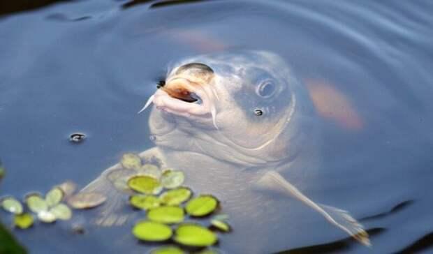 Ростовчан заставили выпустить обратно вСеверное водохранилище больше 350 кг рыбы