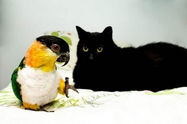 Попугай вырос в одном доме с тремя котами и теперь думает, что он один из них