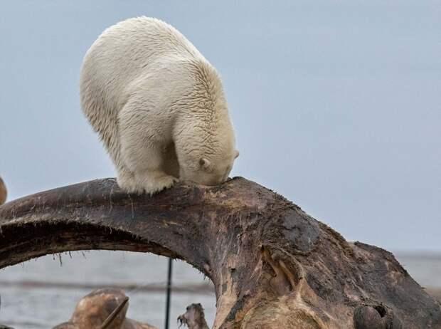 Голова белого медведя застряла в костях кита животные, медведь