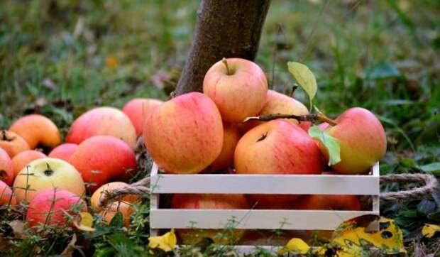 Китайские врачи развеяли миф о стопроцентной пользе яблок