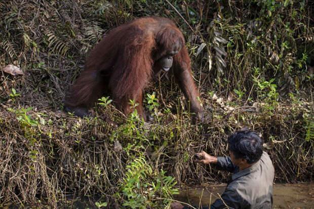 Орангутанг решил, что мужчина тонет в реке, и протянул ему руку, чтобы помочь