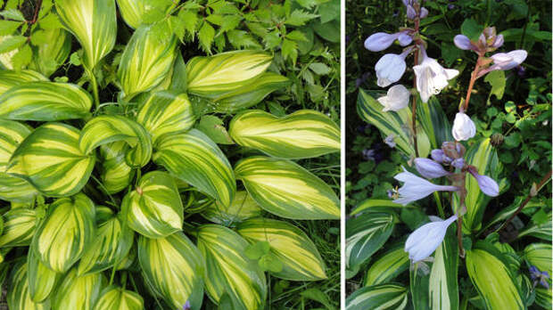 Яркая Rainbow's End, справа - её тёмно-лавандовые цветки. Фото автора