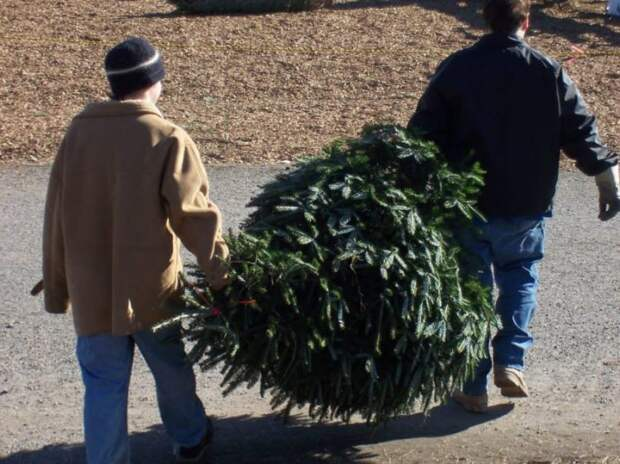 Ваша живая елка, скорее всего, кишит клещами