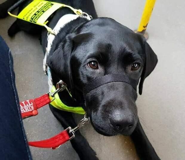 Слепой девушке предложили выйти из автобуса из-за цвета ее собаки бытовая неграмотность, глупость бесконечна, инвалид, истории, лабрадор, ретривер, собака-поводырь, цвет собаки