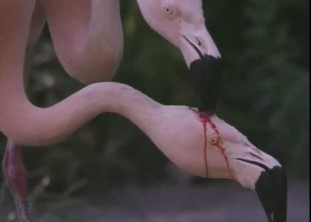 На этом видео с фламинго происходит не то, что вы подумали