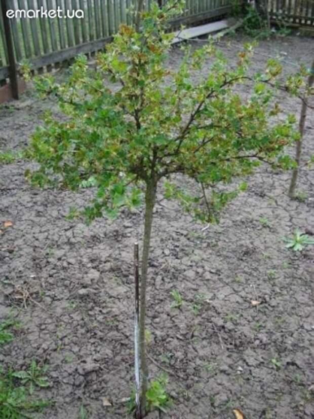 Новый способ выращивания кустов смородины, крыжовника и других