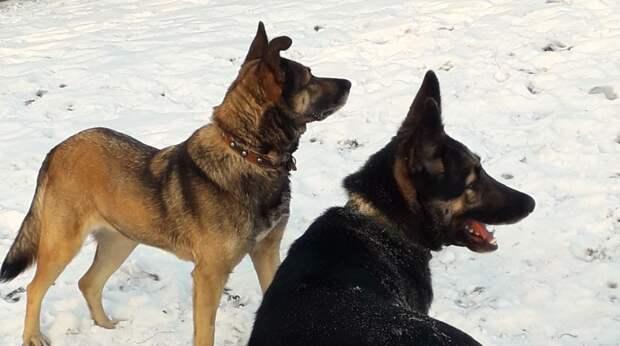 Собаки рванули к кустам, чтобы показать хозяйке щенка, оставшегося без мамы…