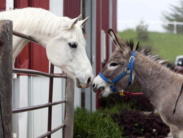 Осел и арабская лошадь