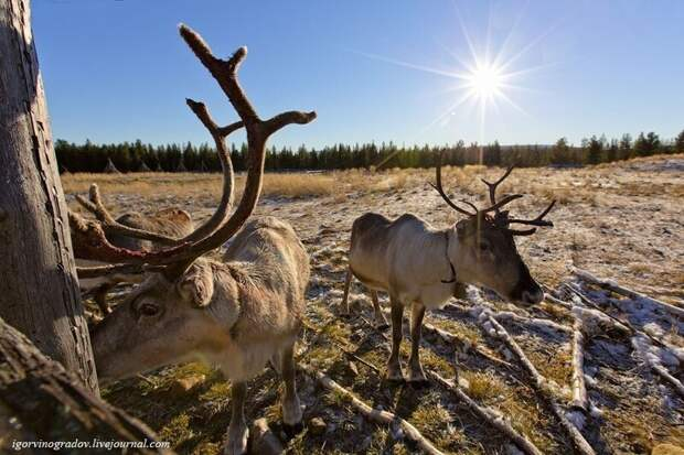 Где живут оленеводы: путешествие в Лапландию