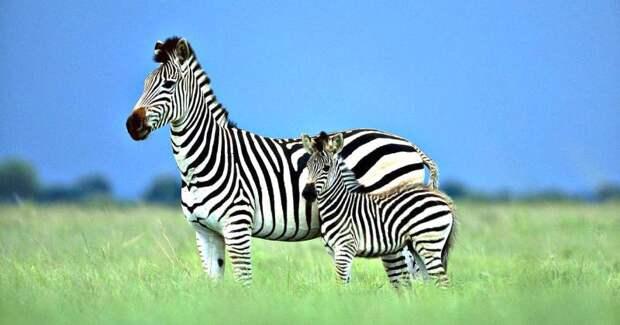 Ученые разгадали секрет окраски зебры. Выбудете удивлены