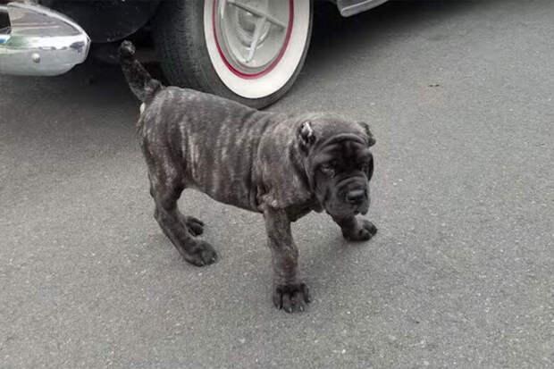Купил щенка необычной породы за 5000$, а когда он вырос, то превратился в огромного пса более 100 кг