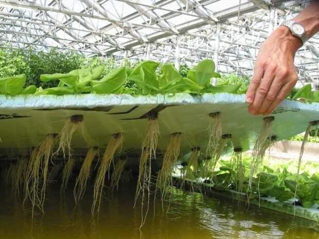 Используют также гидропонный метод выращивания дача, клубника, на заметку, огород, сбор урожая, фото