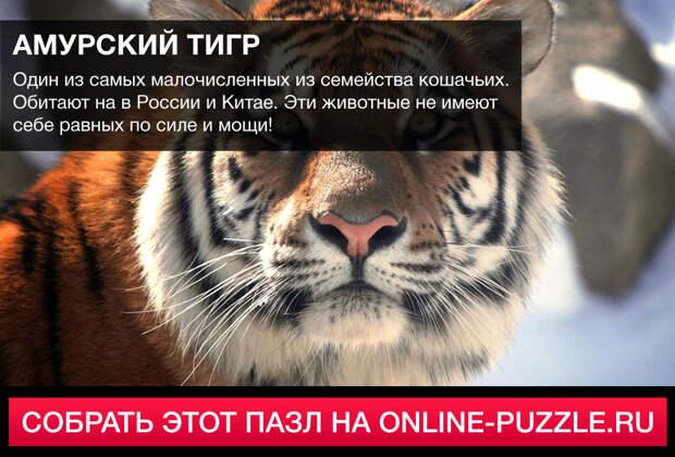 Пазл: Амурский тигр | Категория: Животные