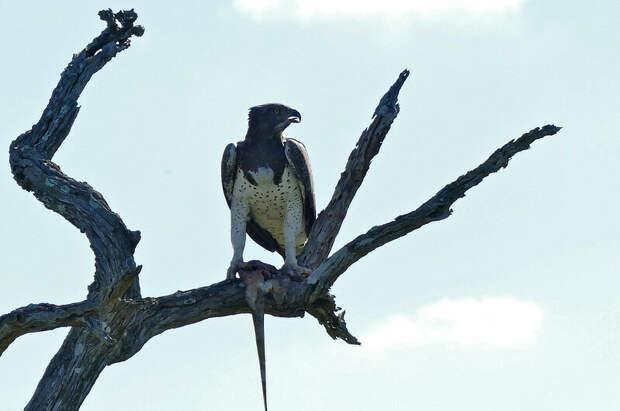 Боевой орёл: самый крупный и мощный орёл Африки