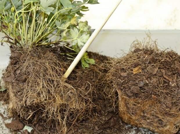 Вынимаем разросшееся растение, и разделяем корни