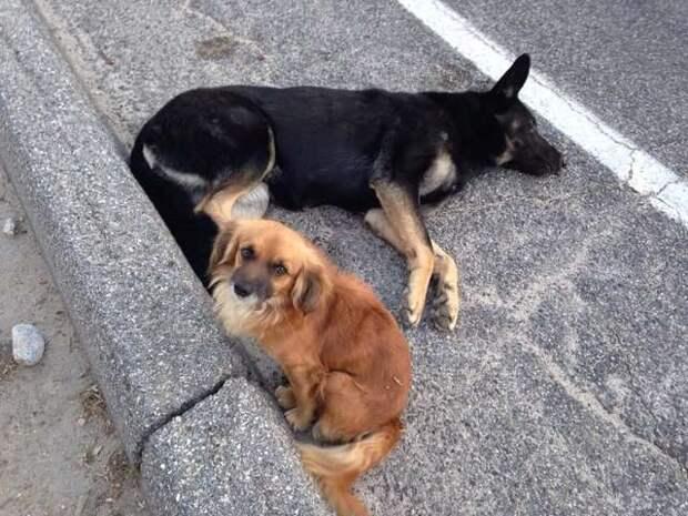 Бездомный пёс заслонял собой раненую собаку, которая оказалась ещё и беременной